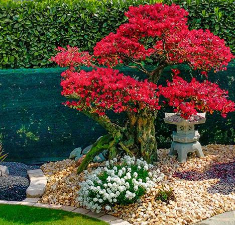 Fornitura bonsai da esterno francesco giardini for Giardini da esterno